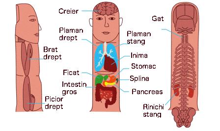 Tratamentul varicelor: operaţie clasică versus intervenţia cu laser sau radiofrecvenţă!